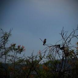small mexican bird