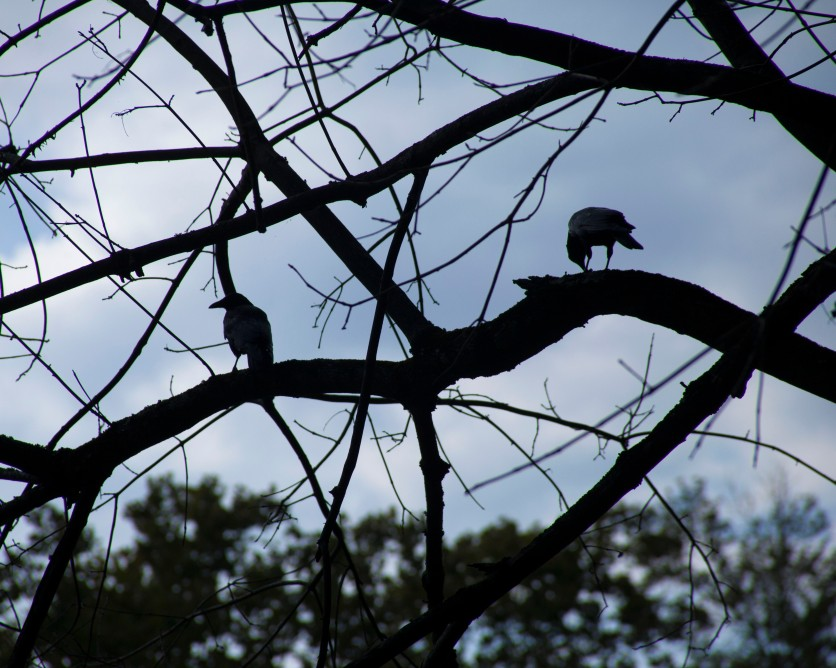 crows for blog